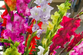 Gladiolus variety group